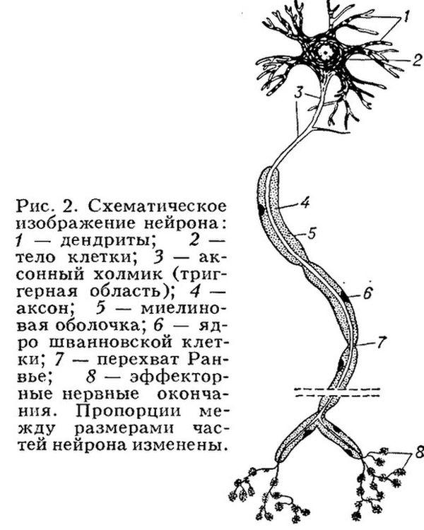 уровень возбудимости нервных клеток